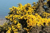 Gorse also called furze or whin