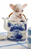 Baby chihuahua puppy sitting in an antique teapot
