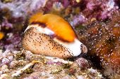 A beautiful cowry snail, a mollusk, crawls across a colorful reef with its mantle wrapped over its s