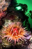 A beautiful sea anemone with extended tentacles exposes its mouth and feeds on plankton from the gre