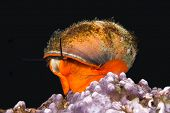 Norris's top snail, also knows and a kelp snail, crawls over a reeftop with its bright orange foot in search of food.