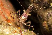 A colorful tiny shrimp, Lysmata, in a crevice stares into my camera.  The shrimp is about one inch l