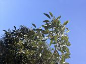 Moreton Bay Figs And Leaves