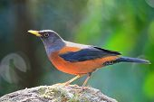 pic of brown thrush  - Colorful brown and black bird - JPG