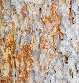 picture of termite  - image of termite nest on bark  - JPG