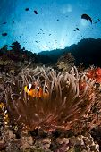 stock photo of clown fish  - anemone fish aka clown fish and it - JPG