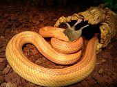 Albino Snake Eat A Mouse