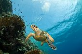 picture of sea-turtles  - hawksbill sea turtle - JPG