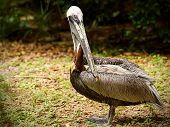 stock photo of playa del carmen  - Portrait of white pelican bird in Playa del Carmen Mexico - JPG