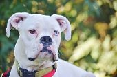 Close-up of a white boxer dog.