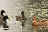 Black Coots On The Water