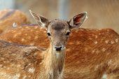 Fallow Deer Calf Curious Face