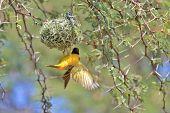 Golden Masked Weaver - African Wild Bird Background -