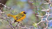 Golden Masked Weaver - African Wild Bird Background - Among the Thorns