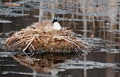 Mother Canada Goose On Nest In Pond
