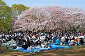 Blossom Cherry Season In Tokyo