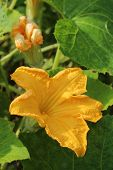 Flower Of Pumpkin