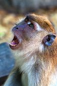 The Wild Monkey Shows Teeth