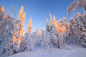 Beautiful Magical Snowy Forest In The Rays Of The Rising Sun