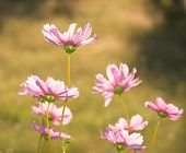Pink Cosmos flowers back lit by autumn evening sun