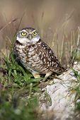 Owl Defending It's Territory
