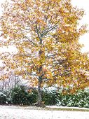 Vibrant Oak Tree In Autumn Colors At Winter