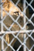 image of tiger eye  - eye of the tiger in cage look fierce - JPG