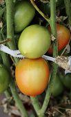 Bush Of Green Tomato In The Garden