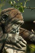 Gorilla Baby Peeking