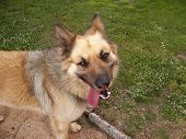pic of belgian shepherd  - Belgian shepherd playing happily in the garden - JPG