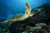 picture of endangered species  - hawksbill turtle - JPG