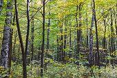 Autumn Beech Forest Landscape