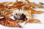 Chestnut Hedgehod With Leafs