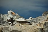 foto of booby  - The Nazca booby (Sula granti) is a booby found in the eastern Pacific Ocean, primarily on the Gal�pagos Islands and on Clipperton Island.