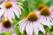 echinacea flowers against green background