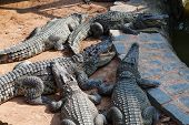 Crocodiles In The Farm At Vietnam
