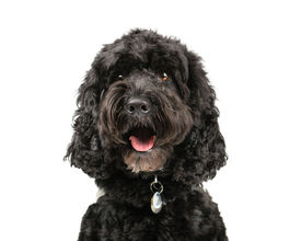 picture of cockapoo  - Picture of a Black Cockapoo sittingon a white background - JPG