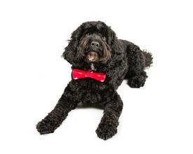 image of cockapoo  - Picture of a Black Cockapoo sittingon a white background - JPG