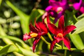 Orchid Flower,cattleya Red Orchid Flower.
