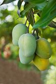 Bunch Of Yellow Ripe And Green Mango On Tree In Garden