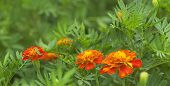 Spring Background Fresh Marigold Flowers