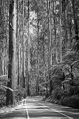 foto of spurs  - Towering trees and tree ferns in the forest along the Black Spur in the Yarra Valley Victoria Australia in black and white - JPG