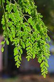 stock photo of oleifera  - Moringa oleifera - JPG