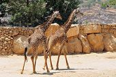 stock photo of zoo  - Giraffe in Jerusalem Biblical Zoo Jerusalem Israel - JPG