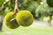 Baby Jackfruit Tree Plant Concept