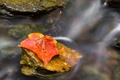 Autumn Leaf In Stream