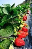 image of strawberry plant  - strawberry  plants in growth at field under sky - JPG