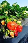 stock photo of strawberry plant  - strawberry  plants in growth at field under sky - JPG