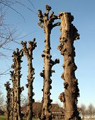 stock photo of linden-tree  - Pruned linden trees on the ground of Borg Ewsum in Loppersum - JPG