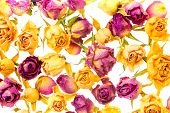 Beautiful Dried Colorful Roses Like As Background Is Isolated On White, Closeup